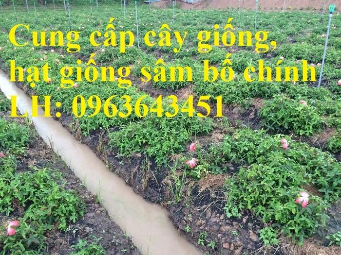 Cung cấp cây giống, hạt giống sâm dược liệu sâm bố chính, sâm đương quy, sâm ngọc linh chuẩn, uy tín7