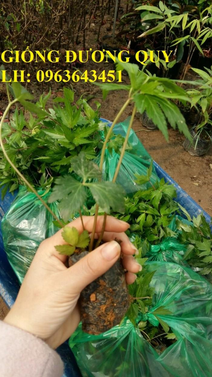 Cung cấp cây giống, hạt giống sâm dược liệu sâm bố chính, sâm đương quy, sâm ngọc linh chuẩn, uy tín0