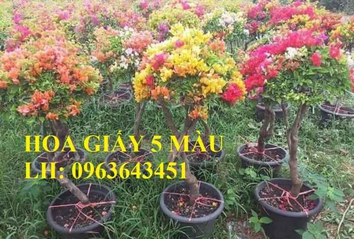 Cung cấp cây hoa giấy Thái, hoa giấy 5 màu, hoa giấy thế nhiều màu siêu đẹp, giá tốt, giao toàn quốc6