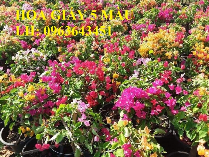 Cung cấp cây hoa giấy Thái, hoa giấy 5 màu, hoa giấy thế nhiều màu siêu đẹp, giá tốt, giao toàn quốc5