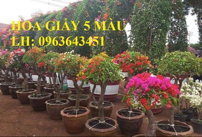 Cung cấp cây hoa giấy Thái, hoa giấy 5 màu, hoa giấy thế nhiều màu siêu đẹp, giá tốt, giao toàn quốc4