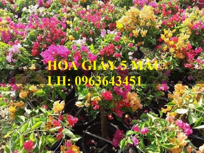 Cung cấp cây hoa giấy Thái, hoa giấy 5 màu, hoa giấy thế nhiều màu siêu đẹp, giá tốt, giao toàn quốc3