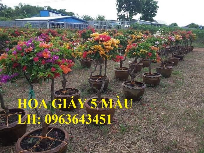 Cung cấp cây hoa giấy Thái, hoa giấy 5 màu, hoa giấy thế nhiều màu siêu đẹp, giá tốt, giao toàn quốc1
