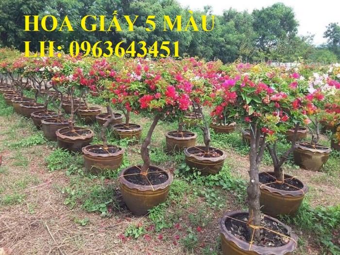 Cung cấp cây hoa giấy Thái, hoa giấy 5 màu, hoa giấy thế nhiều màu siêu đẹp, giá tốt, giao toàn quốc2