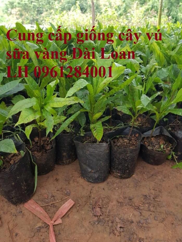 Cung cấp giống cây vú sữa vàng đài loan, vú sữa hoàng kim, cây giống chất lượng cao1