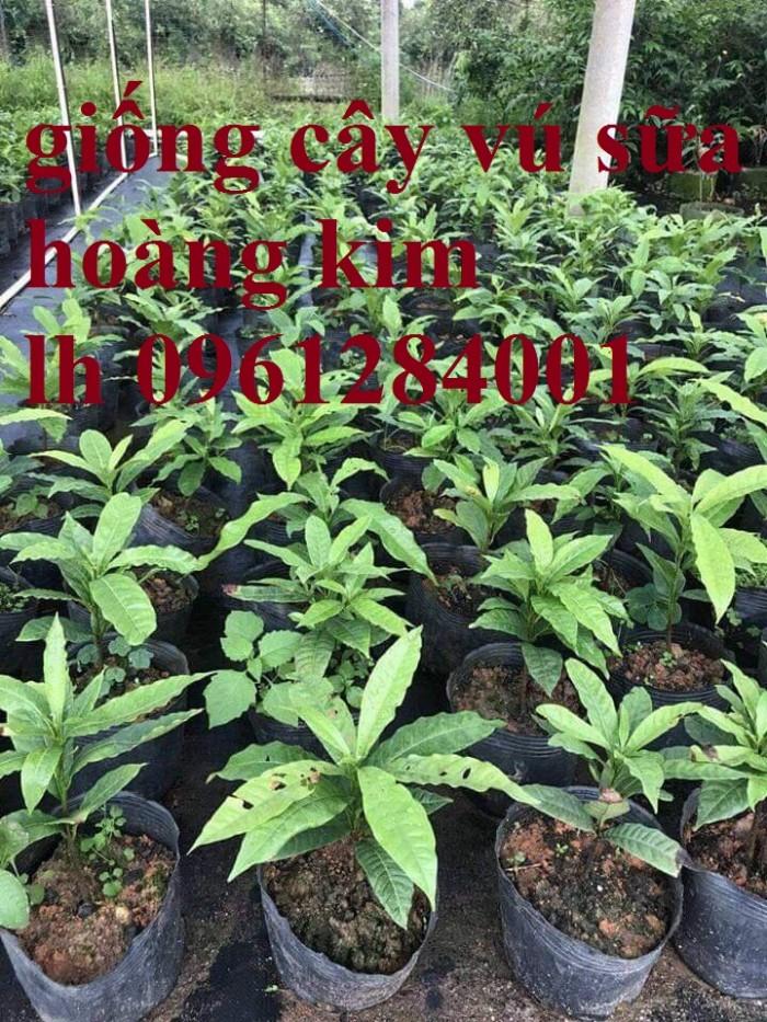 Cung cấp giống cây vú sữa vàng đài loan, vú sữa hoàng kim, cây giống chất lượng cao2