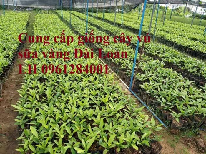 Cung cấp giống cây vú sữa vàng đài loan, vú sữa hoàng kim, cây giống chất lượng cao9