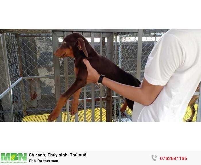 Chó Docberman2