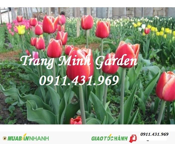 Sỉ lẻ củ giống Tuylip chất lượng, cung cấp hoa thương phẩm, kỹ thuật trồng Tuylip mang lại hiệu quả cao.2