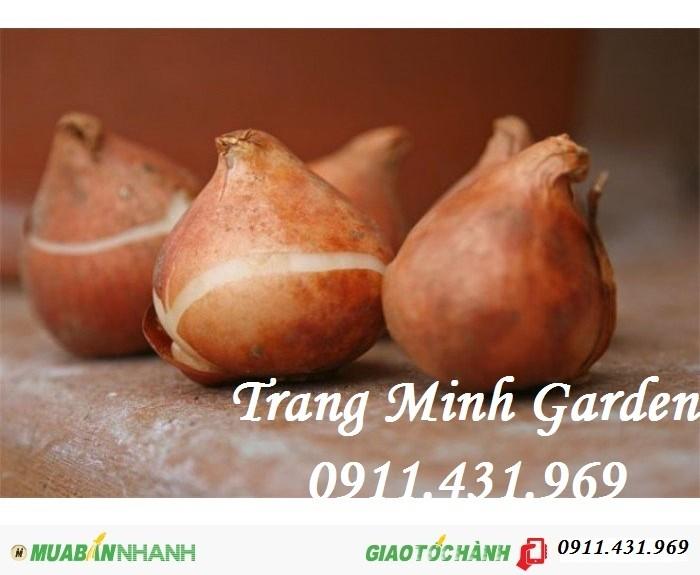 Sỉ lẻ củ giống Tuylip chất lượng, cung cấp hoa thương phẩm, kỹ thuật trồng Tuylip mang lại hiệu quả cao.1