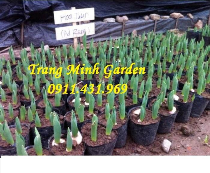 Sỉ lẻ củ giống Tuylip chất lượng, cung cấp hoa thương phẩm, kỹ thuật trồng Tuylip mang lại hiệu quả cao.0