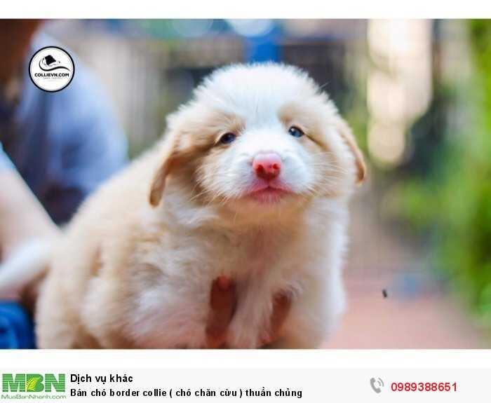 Bán chó border collie ( chó chăn cừu ) thuần chủng0