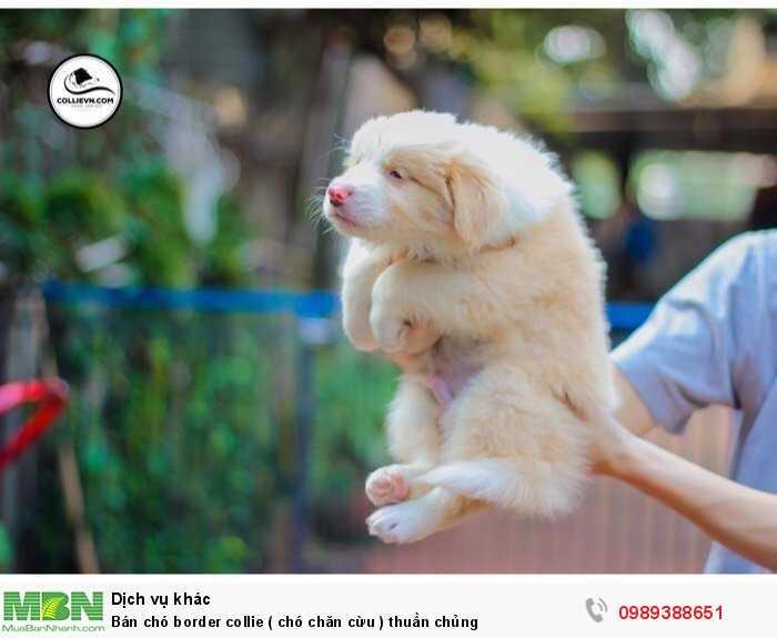 Bán chó border collie ( chó chăn cừu ) thuần chủng2