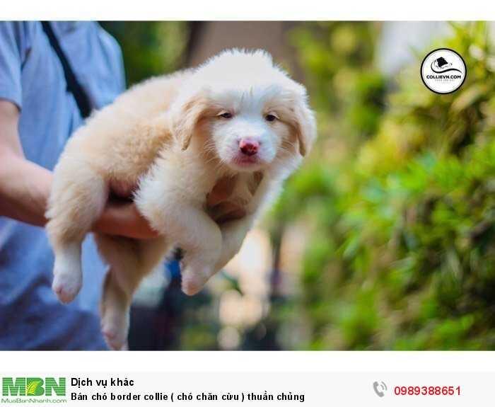 Bán chó border collie ( chó chăn cừu ) thuần chủng3