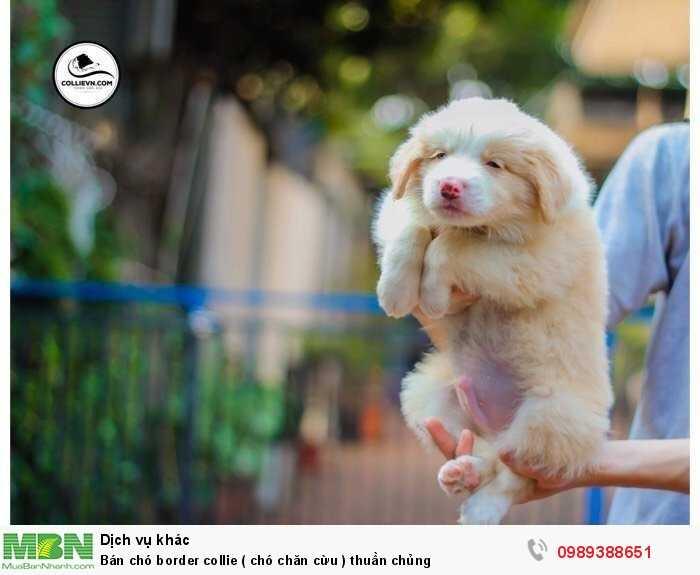 Bán chó border collie ( chó chăn cừu ) thuần chủng4
