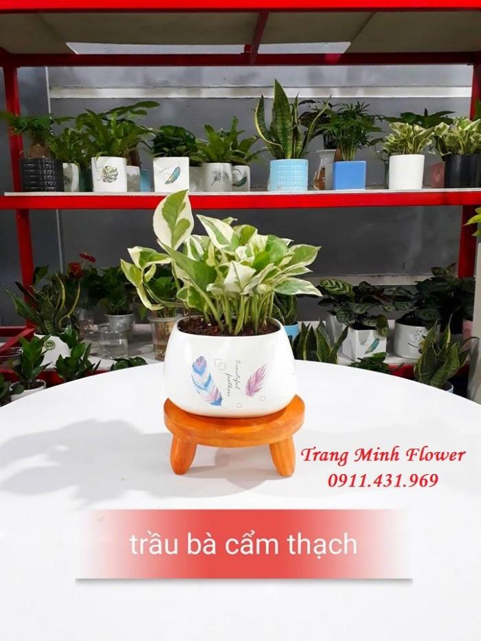 Cây văn phòng, bonsai mini, chất lượng cao.9