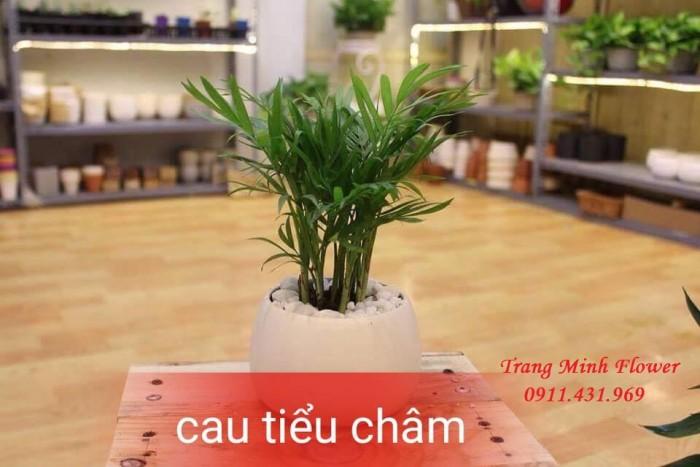 Cây văn phòng, bonsai mini, chất lượng cao.8
