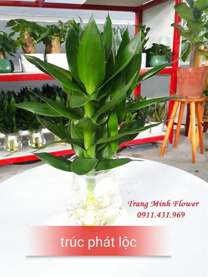 Cây văn phòng, bonsai mini, chất lượng cao.6