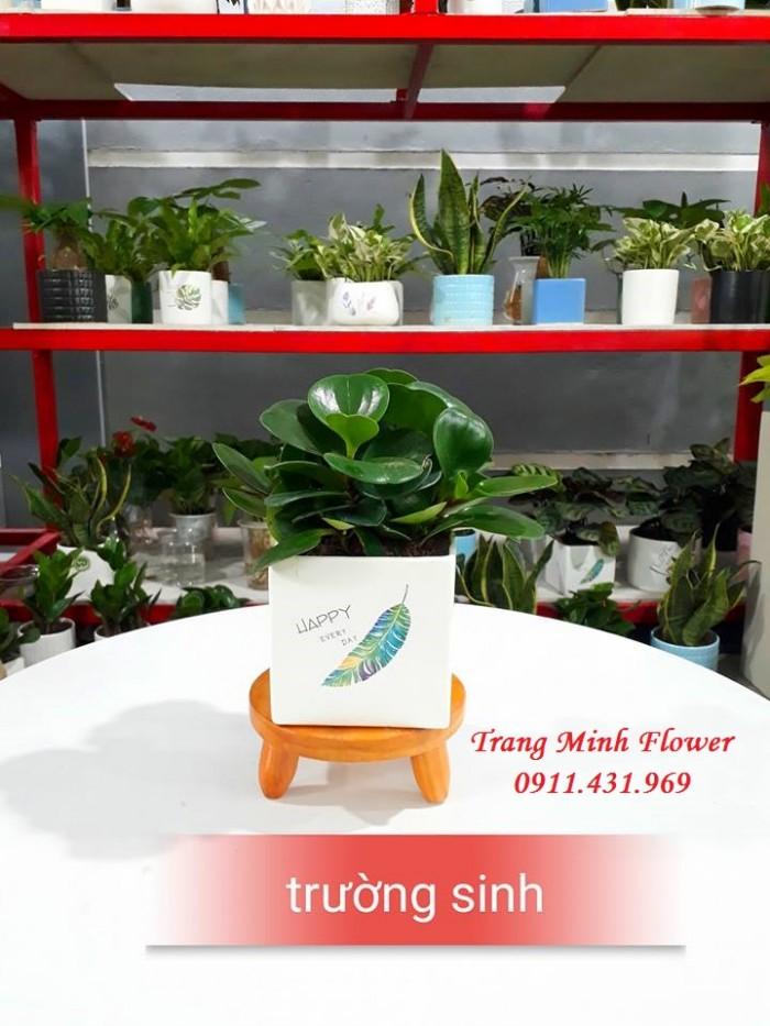 Cây văn phòng, bonsai mini, chất lượng cao.5