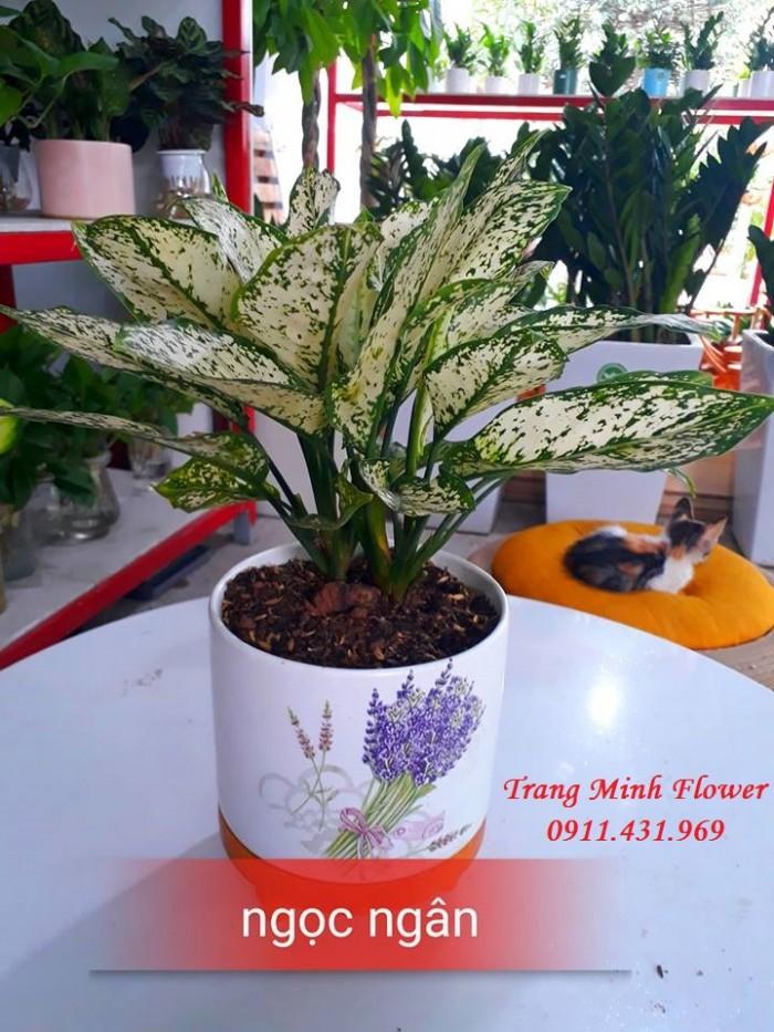 Cây văn phòng, bonsai mini, chất lượng cao.3
