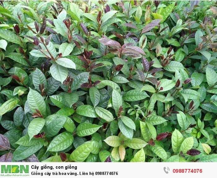 Giống cây trà hoa vàng3