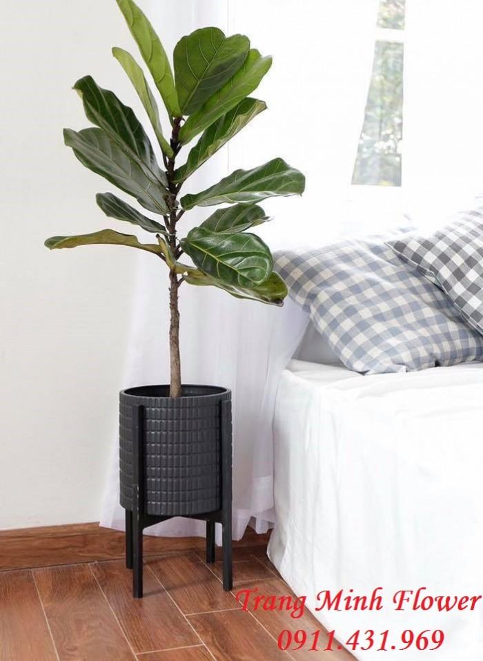 Cây nội thất thanh lọc không khí, hút sóng wifi.12