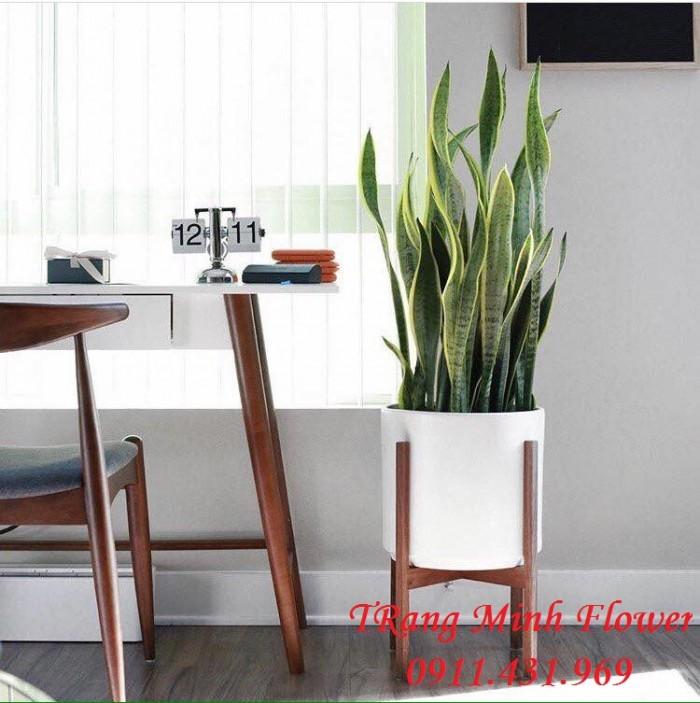 Cây nội thất thanh lọc không khí, hút sóng wifi.0