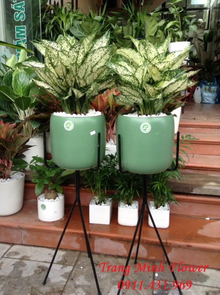 Cây Ngọc Ngân được trồng trong nhà1