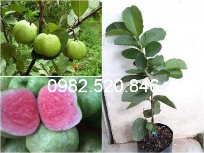 Cây Giống Ổi Rubi Đài Loan - Nông Nghiệp Việt - HVNN VN6