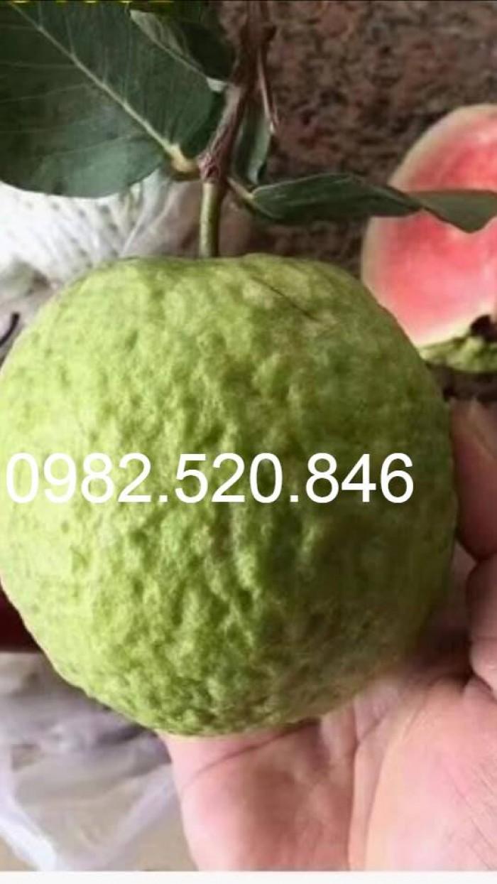 Cây Giống Ổi Rubi Đài Loan - Nông Nghiệp Việt - HVNN VN2
