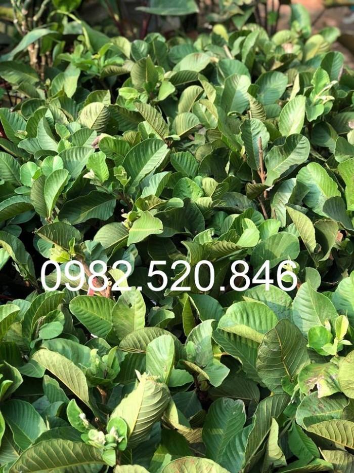 Cây Giống Ổi Rubi Đài Loan - Nông Nghiệp Việt - HVNN VN0