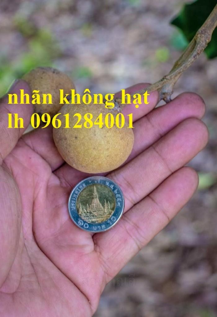 Cây giống nhãn không hạt nhập khẩu, nhãn không hạt thái lan, cây giống đầu nguồn chất lượng3