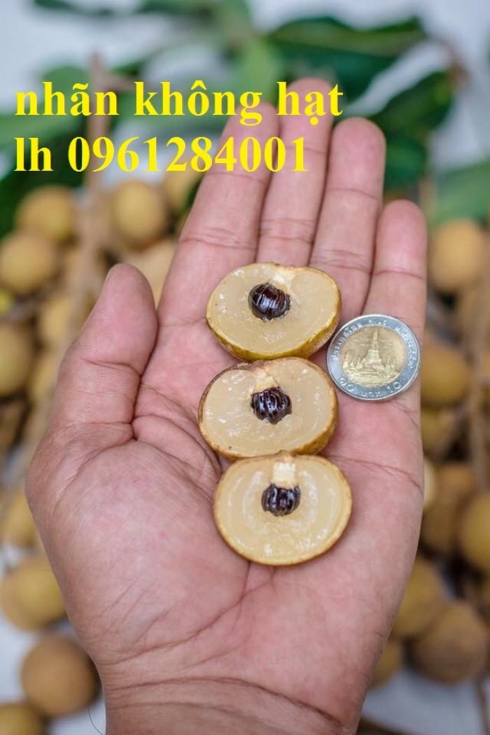 Cây giống nhãn không hạt nhập khẩu, nhãn không hạt thái lan, cây giống đầu nguồn chất lượng5