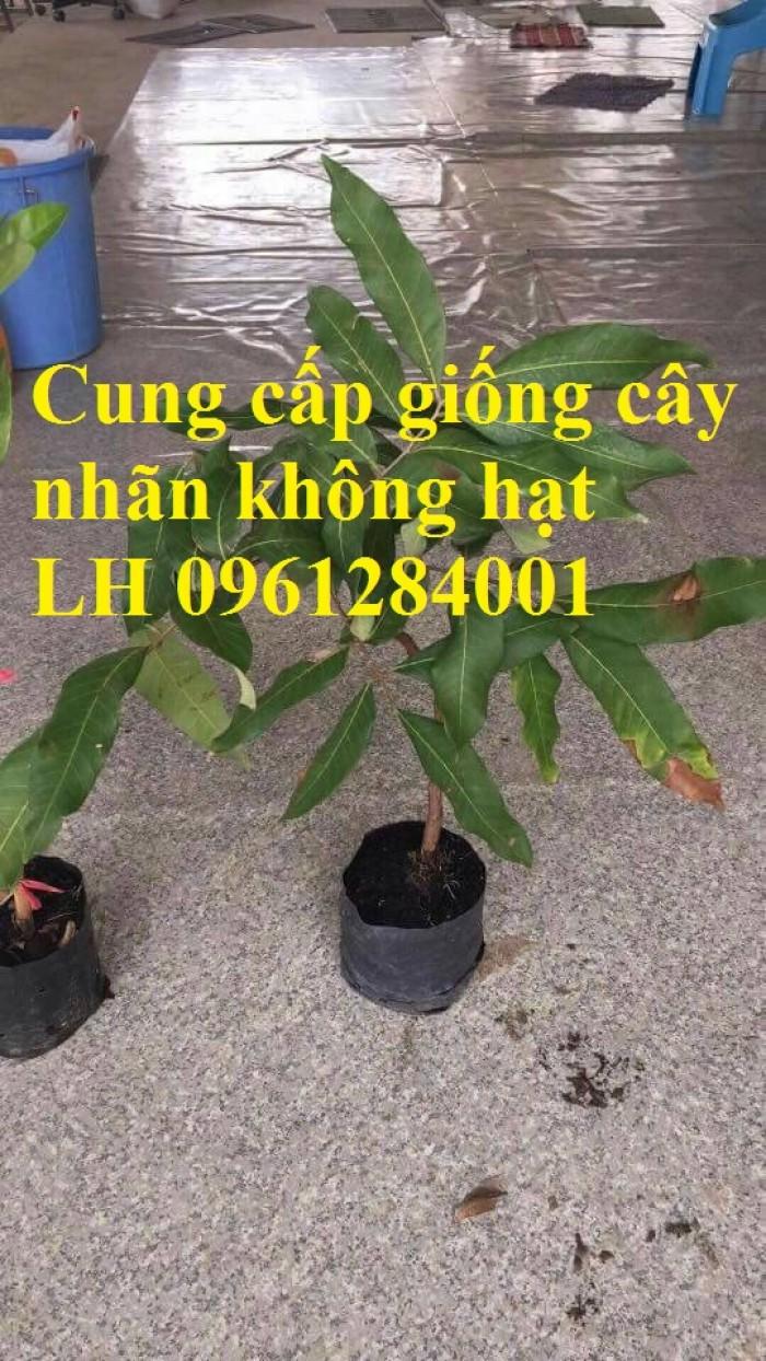 Cây giống nhãn không hạt nhập khẩu, nhãn không hạt thái lan, cây giống đầu nguồn chất lượng1
