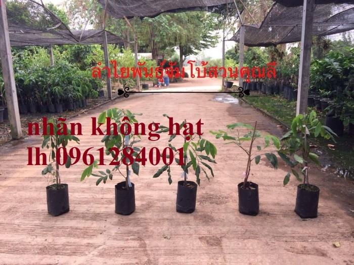 Cây giống nhãn không hạt nhập khẩu, nhãn không hạt thái lan, cây giống đầu nguồn chất lượng6