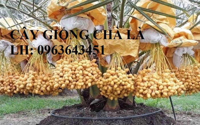 Cung cấp cây giống chà là, cây chà là, giống cây chà là Thái chuẩn, uy tín, giao hàng toàn quốc6