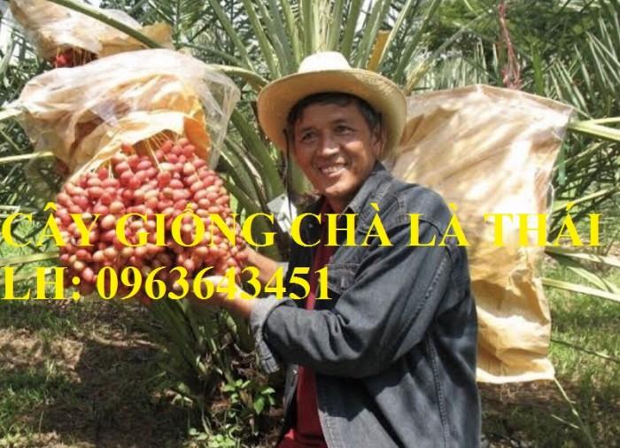Cung cấp cây giống chà là, cây chà là, giống cây chà là Thái chuẩn, uy tín, giao hàng toàn quốc2