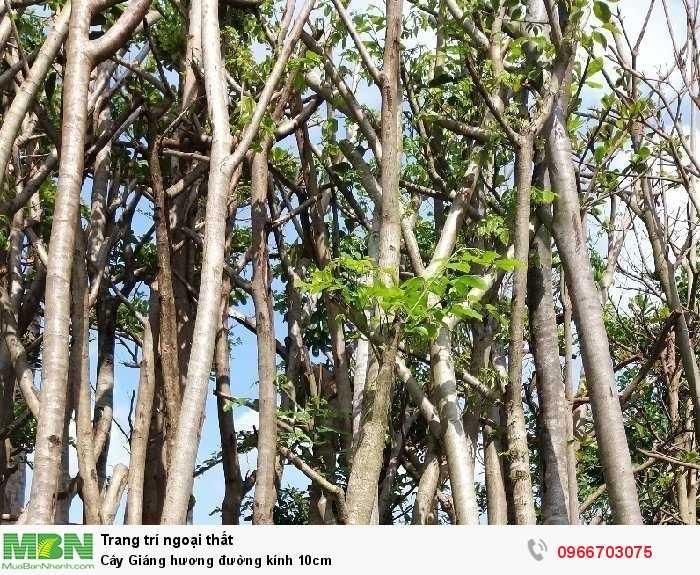 Cây Giáng hương đường kính 10cm3