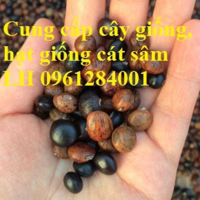 Cung cấp cây giống, hạt giống cát sâm, hàng loại 1, số lượng lớn, giao hàng toàn quốc7