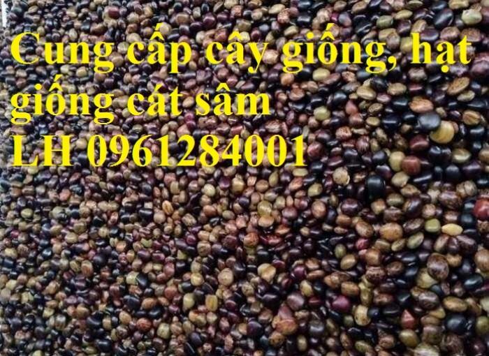 Cung cấp cây giống, hạt giống cát sâm, hàng loại 1, số lượng lớn, giao hàng toàn quốc6