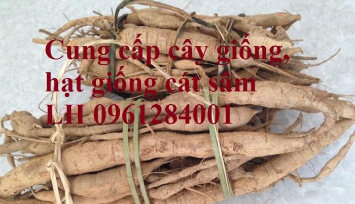 Cung cấp cây giống, hạt giống cát sâm, hàng loại 1, số lượng lớn, giao hàng toàn quốc8