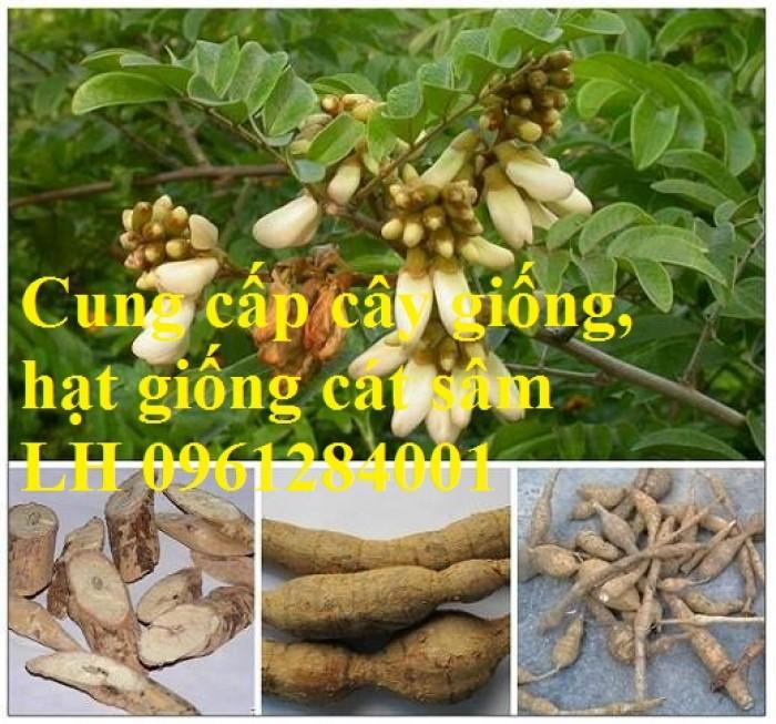 Cung cấp cây giống, hạt giống cát sâm, hàng loại 1, số lượng lớn, giao hàng toàn quốc4