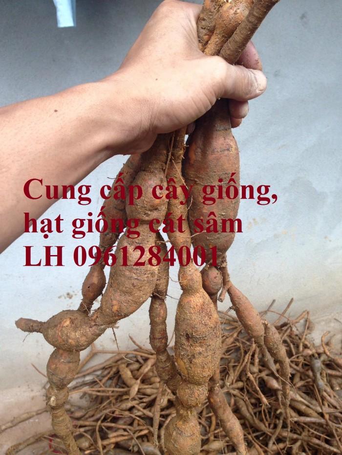 Cung cấp cây giống, hạt giống cát sâm, hàng loại 1, số lượng lớn, giao hàng toàn quốc0