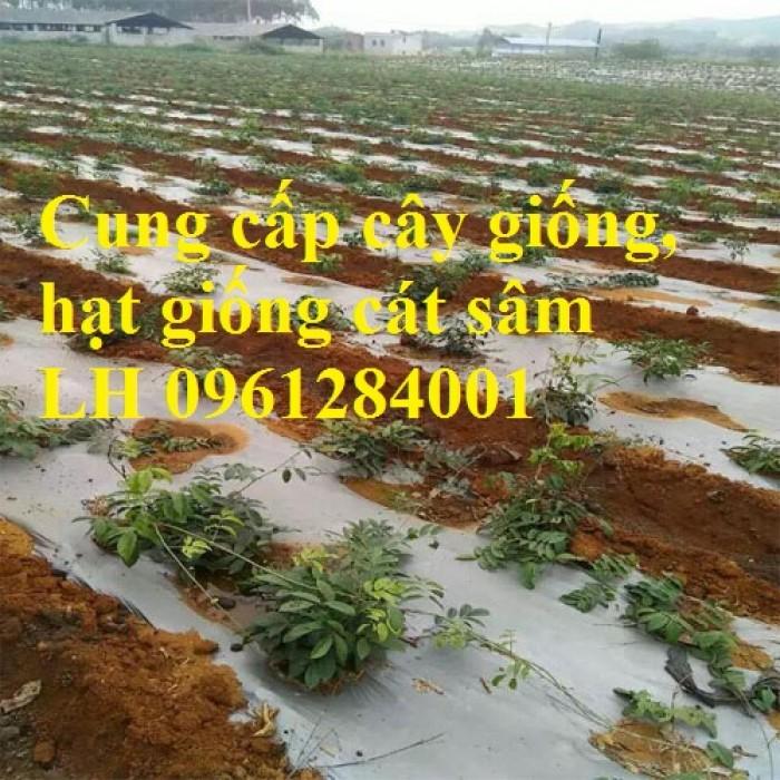 Cung cấp cây giống, hạt giống cát sâm, hàng loại 1, số lượng lớn, giao hàng toàn quốc5
