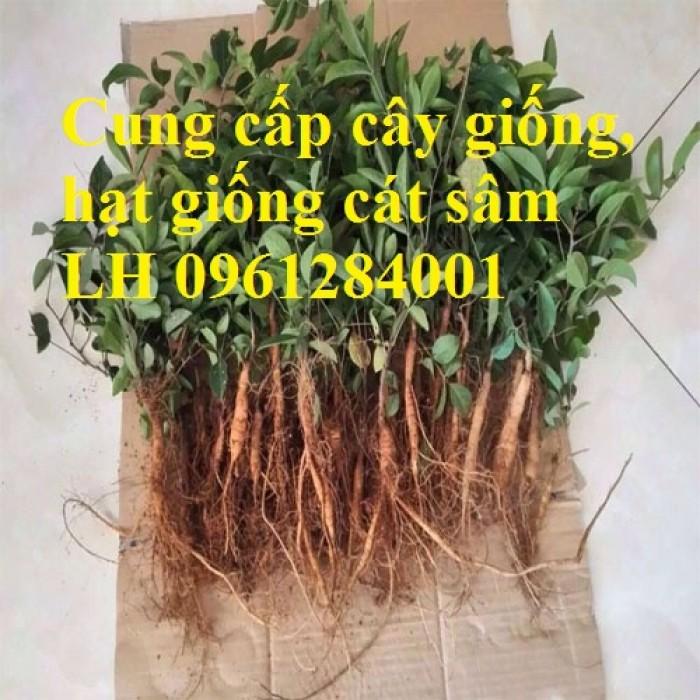 Cung cấp cây giống, hạt giống cát sâm, hàng loại 1, số lượng lớn, giao hàng toàn quốc2