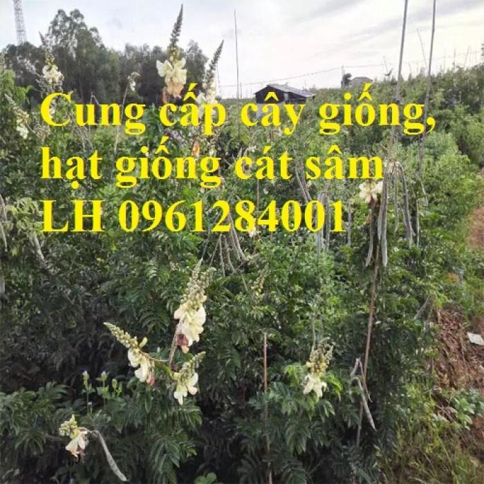 Cung cấp cây giống, hạt giống cát sâm, hàng loại 1, số lượng lớn, giao hàng toàn quốc1