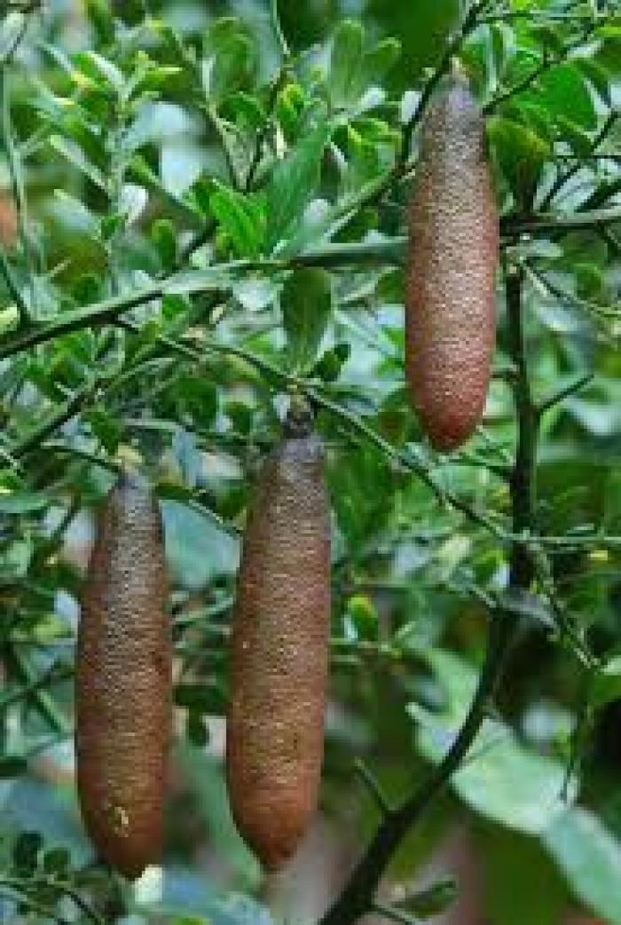 Cung cấp cây giống chanh ngón tay, chanh ngón tay - finger lime, cây giống nhập khẩu chất lượng cao6