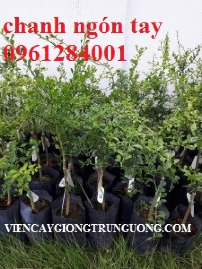 Cung cấp cây giống chanh ngón tay, chanh ngón tay - finger lime, cây giống nhập khẩu chất lượng cao7