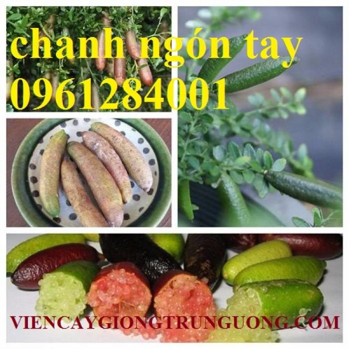 Cung cấp cây giống chanh ngón tay, chanh ngón tay - finger lime, cây giống nhập khẩu chất lượng cao8