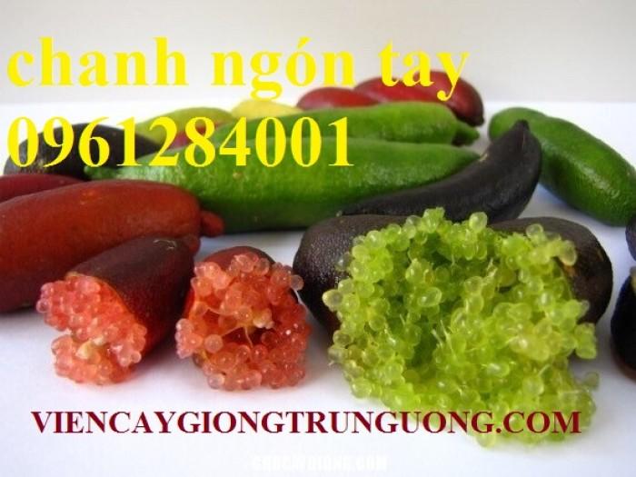 Cung cấp cây giống chanh ngón tay, chanh ngón tay - finger lime, cây giống nhập khẩu chất lượng cao10